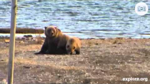 Bear 171 and her chubbie cub (610) at Katmai Oct 22, 2014 video by MsDebbiB