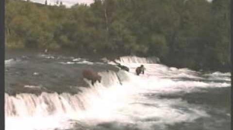 Alaskan Adventure - The Bears of Katmai (1 Diver can be seen at 4 03) video by park visitor Ray Wood