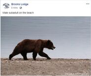 BROOKS LODGE 2019.06.12 15.30 FACEBOOK POST w KARA STENBERG SUBADULT ON BEACH PHOTO