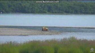 Bear 402's newly emancipated cubs Brooks falls cam 2017 07 14 by Erum Chad (aka Erie)
