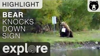 Velcro and Mom Knock Down The Same Sign at Katmai National Park - Live Cam Highlight
