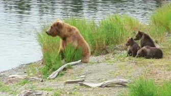 TRAUMHAFT Braunbären-Mutter mit 3 niedlichen Jungtieren - Wonderful Bear Mom with three cubs, video by Wilde Weite Welt