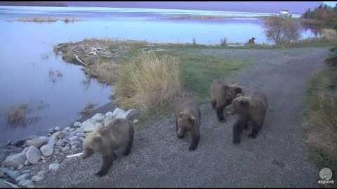 Bear 132 darted Brooks Falls Katmai 2016-10-04 video by Erum Chad (aka Erie)