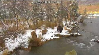 Bear 284 with cubs tail gated by 708 and cubs Brooks falls katmai 2017 10 23 00 07 59 769 by Erum Chad (aka Erie)