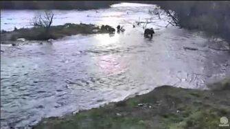 10 12 am AKDT Mom & 3 cubs at Falls Katmai National Patk 10 19 15 by Mickey Williams (btb 504 w 3 COY 821 831)-1