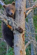 BEADNOSE 409 PIC 2016.07.19 10.11 THE OTHER OF THE 2 SPRING CUBS IN NANNY TREE TRUMAN EVERTS POSTED 2020.02.02 08.59