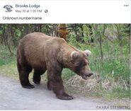 INFO BEARS SEEN 2019.05.xx WHO BL 2019.05.30 09.05 FB POST w KARA STENBERG PIC FRONT VIEW