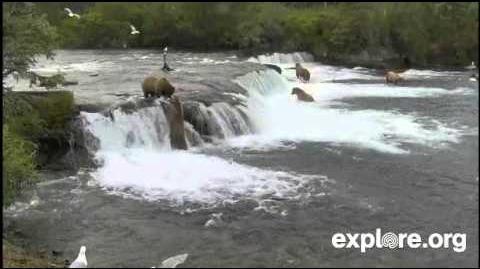 Katmai bear stealing fish from Beadnose bear 409 July 7, 2014 by JB Grace