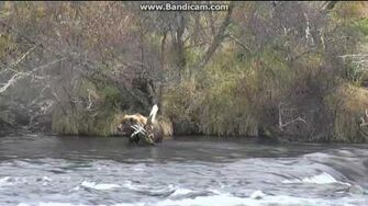 Bear 39 (not 171) and cubs brooks falls katmai 2016 10 08, video by Erum Chad