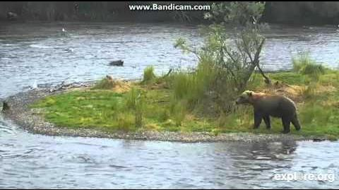 435 Holly charges another bear at Brooks Falls in protection of her cubs 07 24 2015 video by Martina