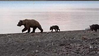 Mother bear with her cubs, video by Martin Kirsten