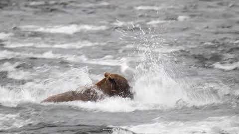Playful Bear, 2-for-1, Brooks Falls, Katmai National Park, 7 7 2018, filmed by KNP Volunteer Maurice Whalen