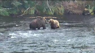 Bear 503 playing with little brother 812 Brooks Falls Katmai 2018 07 30 by Erum Chad (aka Erie)