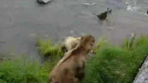Mother bear (128 Grazer) attacks adult male (83) (July 2, 2016) video by Mike Fitz-0