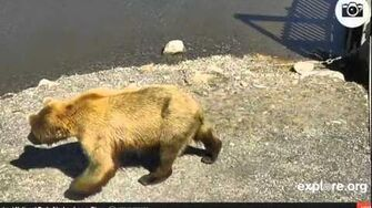 AK bear 130 Tundra June 24, 2014 by Various Videos 1