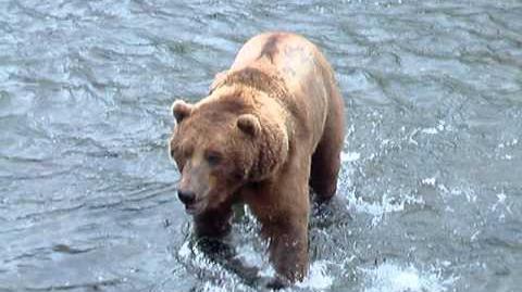 BB Summer 2003, Brooks Falls Dominant Bear by KatmaiBrownBear