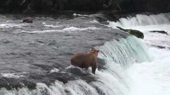 Bear cubs going over the falls, video by Scott Pluta