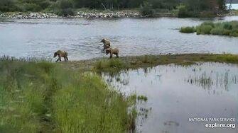 Emancipate cubs of bear 402 LR RW 2020 07 08, video by Erum Chad