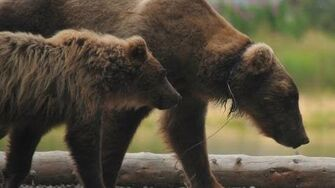 Mission to save Bear 854, Divot, from a wolf snare, video by Katmai National Park and Preserve