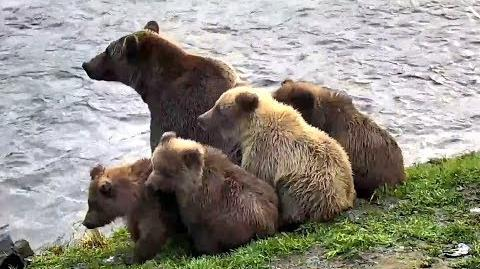 Mom 402 and her 4 beautiful cubs! Katmai Brown Bears