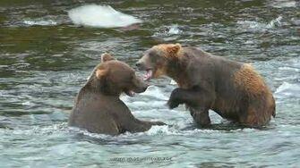 ACTION Lachs fischende & kämpfende Braunbären am Brooks Falls Teil 2 - Brown bears at Brooks Falls, video by Wilde Weite Welt-0