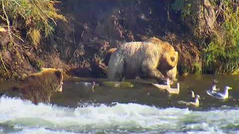 10.06.2017 - 435 Holly And Cubs By The Far Path, Holly In The Far Pool, Charges 2