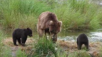 DSCN1225, 708 Amelia and 2 spring cubs, 2019 video by iceox