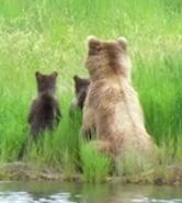 AMANDA THOMPSON COMMENT 2018.07.04 23.12 re 132 & 2 SPRING CUBS & DECEASED CUB 01 & 02 PIC 02 ONLY ZOOM