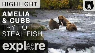 Amelia and Cubs Try To Steal Fish - Katmai National Park - Live Cam Highlight, video by Explore Bears and Bison