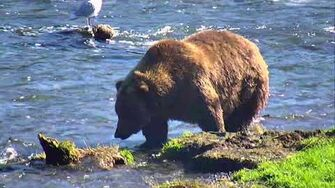 Brooks Falls Brown Bears Cam 09-08-2018 14 00 10 - 14 59 57 Explore Recorder video-0