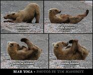 INFO BEARS SEEN 2015.06.08 BL FB POST TIM MAHONEYs PIC OF 128 GRAZER DOING BROWN BEAR YOGA PIC ONLY