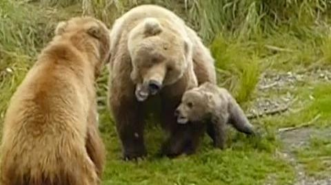 You Wanna Piece of Me? 289 with 273 & her spring cub video by KNP&P