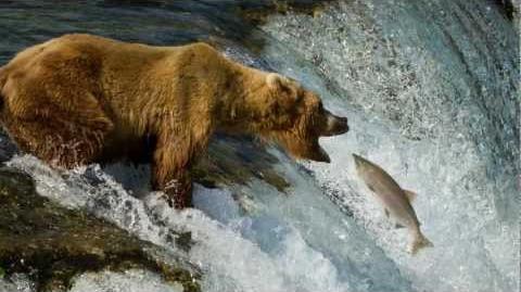 Grizzly Bears of Katmai National Park, Alaska 1080P Summer 2011 by Dan Leffel