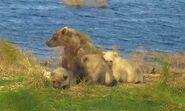 482 Brett and 3 spring cubs September 28, 2018 snapshot by scooch