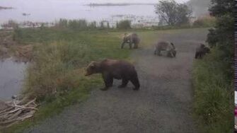 435 Holly and yearlings meet up with bear (believed to be 806) who has massive tapeworm 9 9 2018