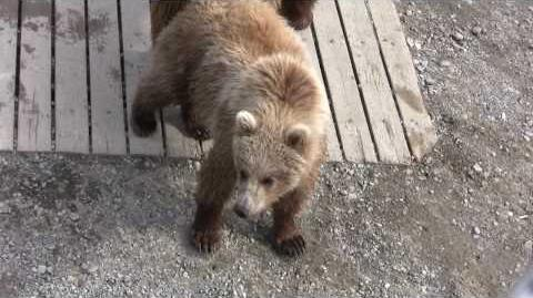 Katmai National Park Bear Jam on June 29, 2009 video by foreseit-0