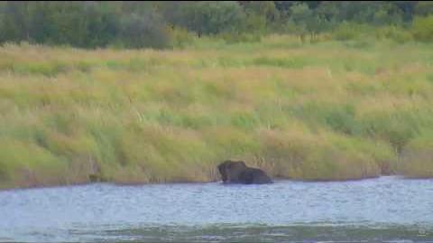 BEAR 410 On Lower River 09 04 2017 video by Anna-Marie Gantt