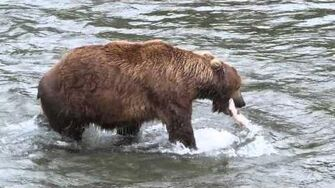 Browns Bears of Katmai National Park, Alaska