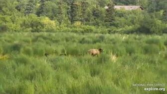 Unknown sow with 3 Coy 7 4 2020, video by Lani H
