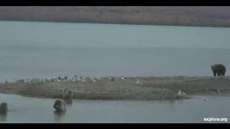 Beadnose and her 3 Cubs on The Spit on 9 28 2013 6 28 35 PM Part 2 by Linda Jett