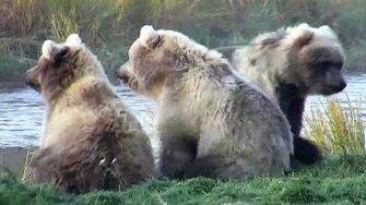 Bear 482 and cubs September 2019, video by Deanna Dittloff