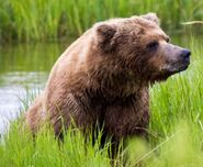 INFO BEARS SEEN 2017.06.21 APPROX 10.54 410 RDAVE COMMENT 2017.06.21 11.09 PIC ONLY 01 ZOOM