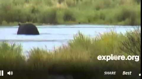 Katmai Park Lower River Bear Cam 879 Makes an Appearance in early afternoon video by jbirdyhome