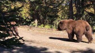 Mama Bear and Cubs Walking on Trail Close to Hikers ViralHog 9 9 2016