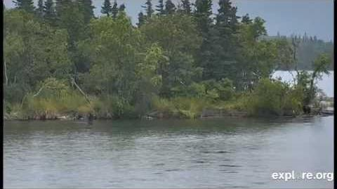 Lower River Bear 879 and lone cub August 27, 2014 video by Janie Nook-0
