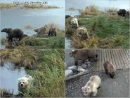 BRETT 482 PIC 2018.09.22 w 3 SPRING CUBS MARTINA POSTED 2019.03.31