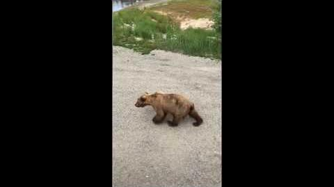 Courting Bears at Brooks Falls, Alaska, June 24, 2017 - Video by Cheryl Yoshioka-0