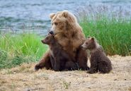 Unidentified sow with 2 spring cubs July 9, 2019 photo by NWBearLove92 .05