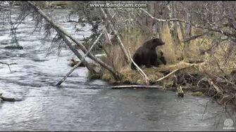 Bear 504 Charge with 2 cubs Brooks Falls Katmai 2016 10 19, video by Erum Chad-0
