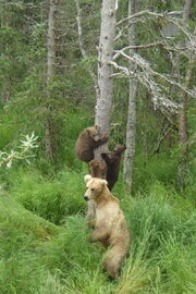 GRAZER 128 PIC 2016.07.04 or PRIOR w 3 SPRING CUBS RANGER MIKE POSTED 2016.07.04 11.19